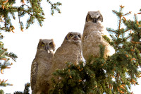 Great Horned Triplets