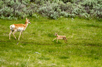 Antelope doe and fawn